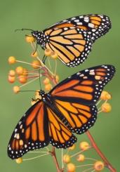 butterfly30